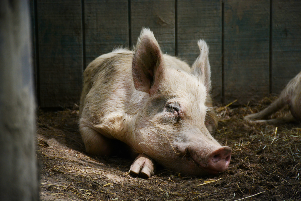 pigs are 10 times smarter than dogs