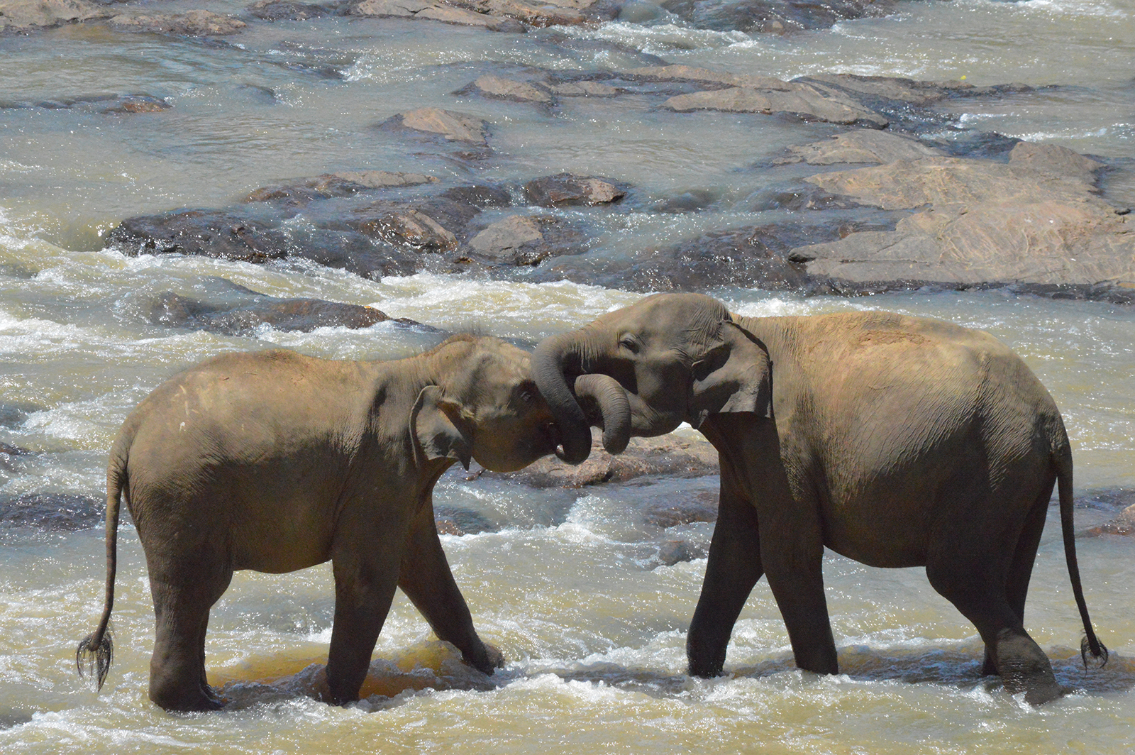 two elephants in a river