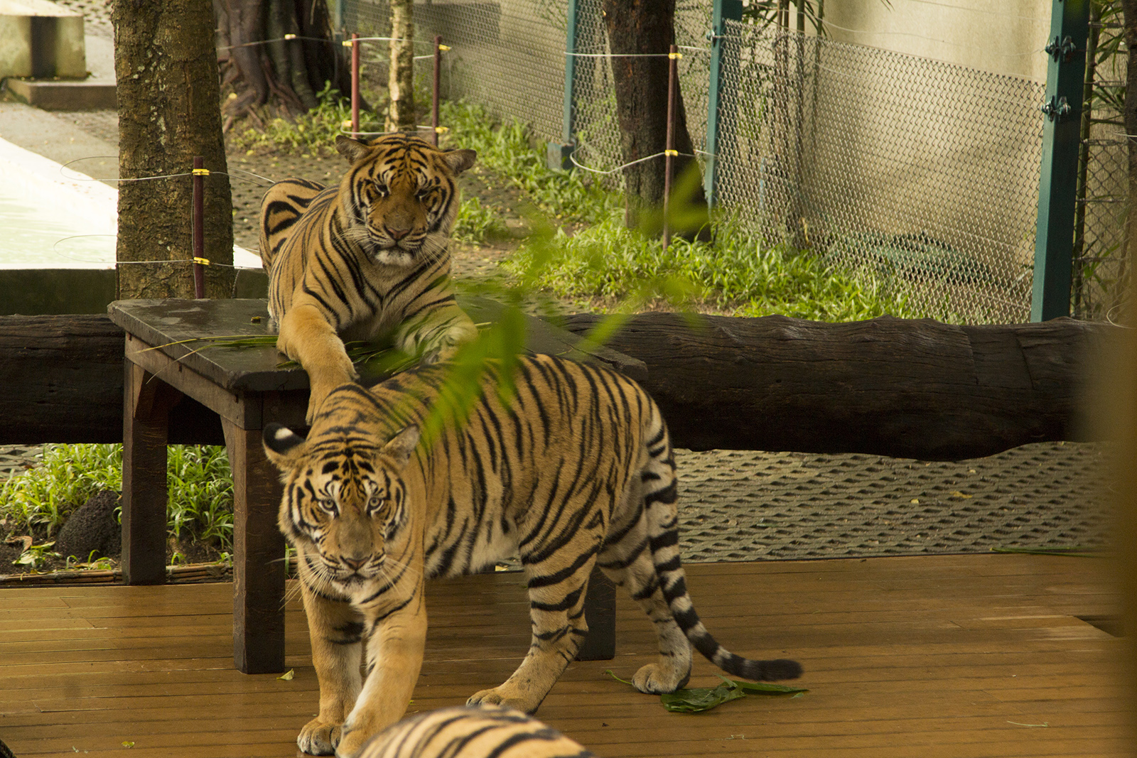 tigers in an enclosure