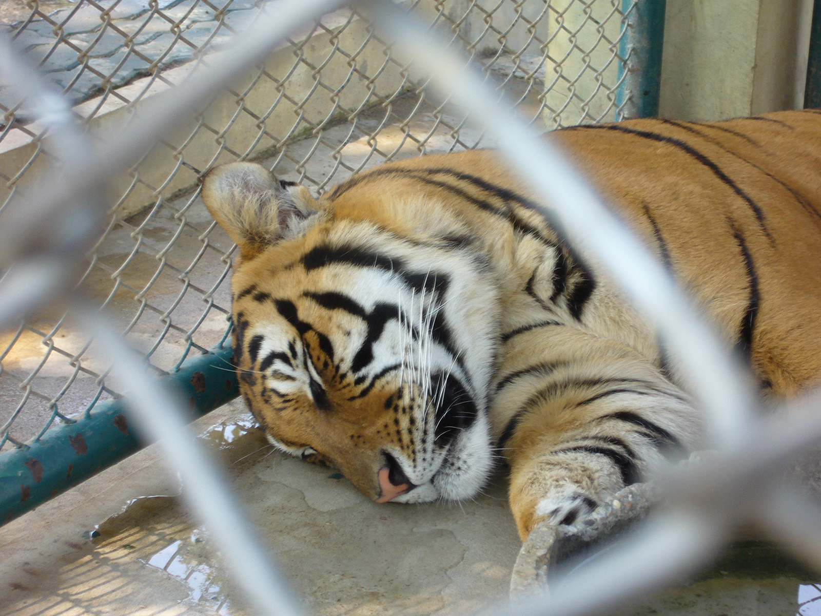 tiger in an enclosure
