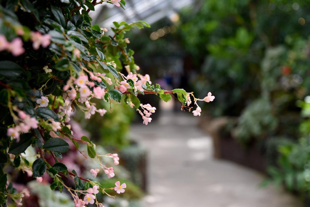closeup of begonias